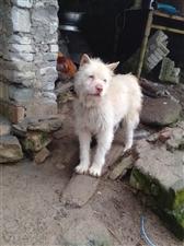 出售一只自家养的下司犬。价格实惠。想要的请联系我。