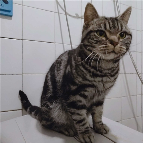 自己家养的猫 因为个人原因 全部处理 ,虎斑两个母(一个已经怀孕),一岁布偶母,一岁英短银渐层,一对...