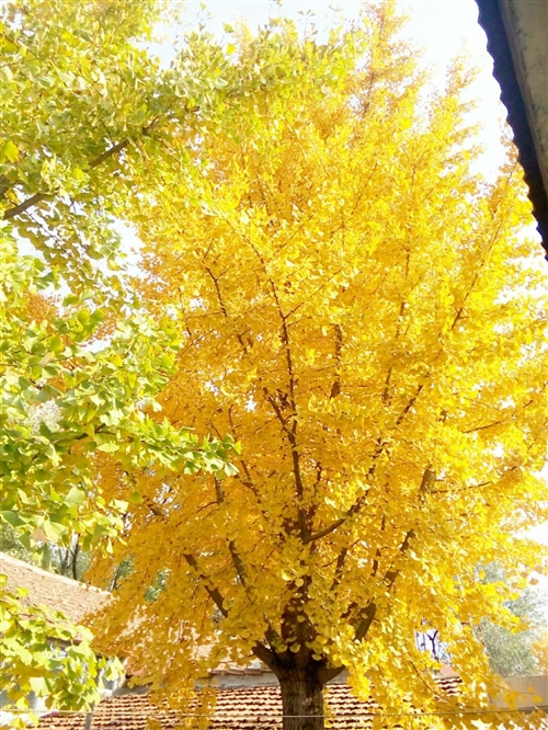 97载年银杏树,直径40左右