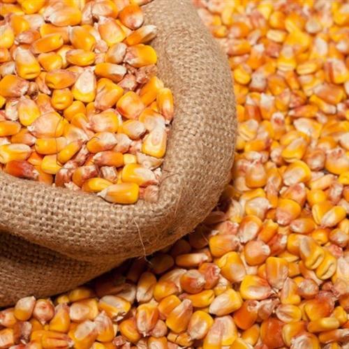 大量玉米出售,已曬干脫粒,價格面議,可食用,可當飼料,聯系電話:徐先生:18298999914