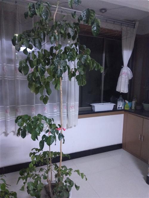 自家养的花,有龟背竹50元,幸福树,虎皮令箭等,有想要的便宜处理了。