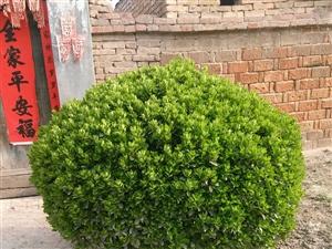 自己家的冬青球,直径两米,主干15公分,树龄23年,有意者可联系!!!