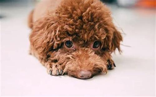 一只自家养的半岁大的红棕色泰迪狗狗   疫苗齐全