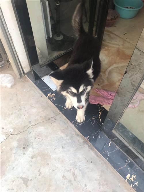 正宗阿拉斯加宠物犬一只 求一个对狗狗好的新主人 2个半月大 已打两针疫苗 联系电话166923519...