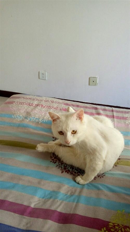 自家懂事乖巧白色猫咪,主人有病不养了,非常听话。