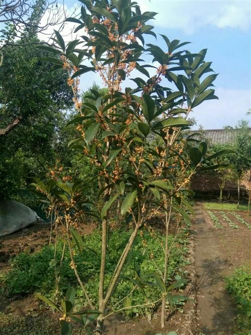出售 :便宜出售金桂数株,桂花树小树,有意的可以来看到树买,是金桂哦,花朵已可以摘的