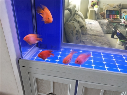 银龙,鹦鹉出手。不想养了,想换其他的鱼,便宜处理了,银龙35公分左右160一条。鹦鹉鱼100元3条,...
