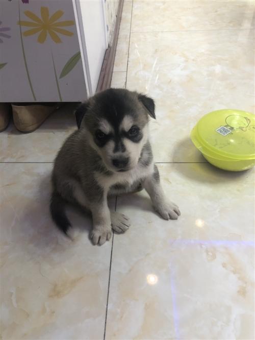 45天哈士奇小狗因无暇顾及,忍痛出售,有爱狗者请联系我!