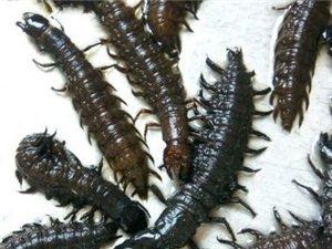 采購一批飼料蟲子爬沙蟲
