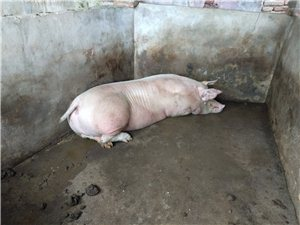 怀孕母猪出售,要的速联系