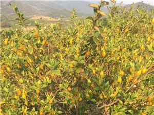 自家种的大量黄栀子出售