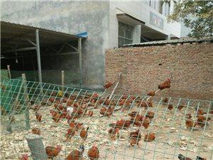 销售三黄公鸡