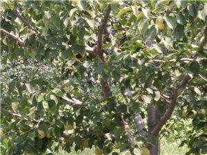 梨树苗一万颗出售