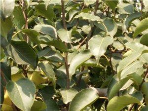 宁陵县酥梨树苗大量出售