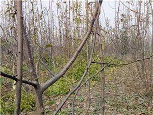 大量梨树苗批发出售