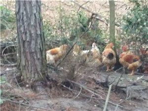 大山林下散养鸡