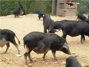 原生态藏香猪