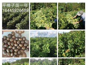 平榛子苗銷售