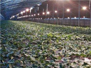 中科植物補光燈-為高效農業增產增收!