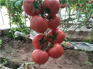 硬粉西红柿