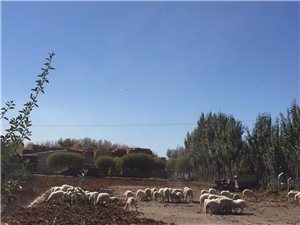 土鸡放养羊