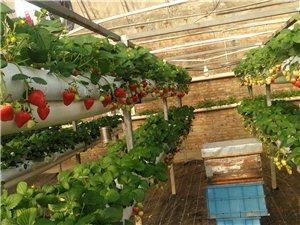 武清區草莓采摘
