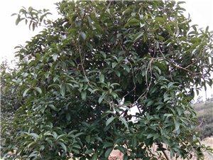 桂花苗木出售
