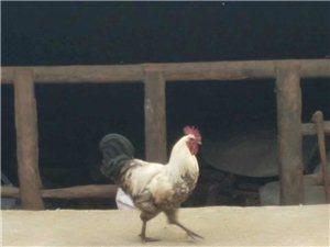 正宗高山散養土雞、土雞蛋