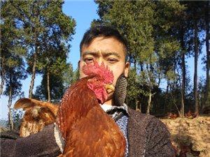 农家散养鸡