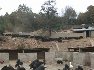 原生態野放藏香豬