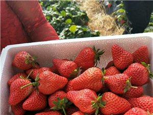 大量出售本地綠色無公害草莓
