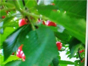 出售8-9年樱桃树