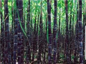 河南地区甘蔗批发商