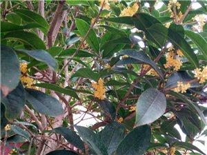 15公分金桂花樹,丹桂