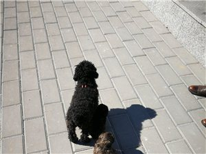 出售泰迪小狗