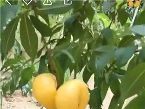大量供应各种果树苗,绿化苗木