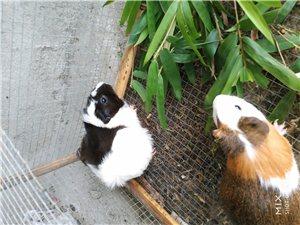 豚鼠出售自养荷兰猪