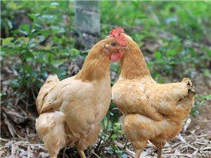 出售農村散養土雞、土雞蛋