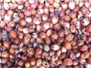枝江市红高粱和玉米批发出售