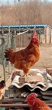 散养公鸡   土鸡蛋
