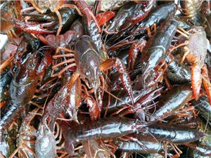 龙虾黄鳝鱼批发