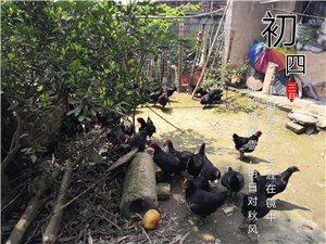 吴氏农场山上散养鸡批发零售