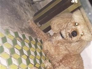 泰迪狗一条送人