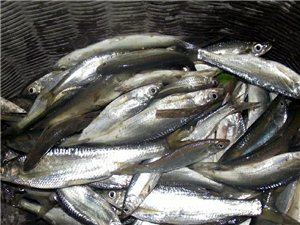 收购大量新鲜刁子鱼