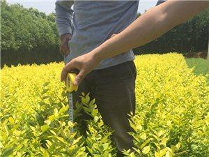 小叶女贞造型河南信阳潢川出售各种绿化苗木品种齐全。