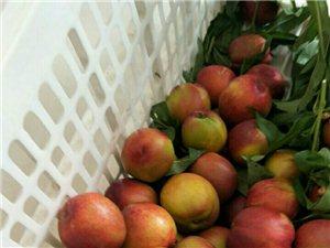 风情街附近果园油桃熟了!