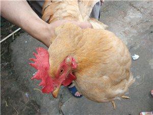 大量收購9個月以上的母雞,