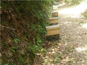 蜂蜜中華土蜂蜜