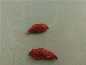 農家景泰今年新紅枸杞大量出售,小包裝也可