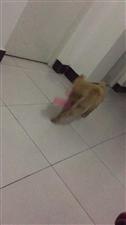 寻狗启示2019-01-17在迎宾六小区走失一只六个月大的金毛,对家人意义重大,望好心人见到能够